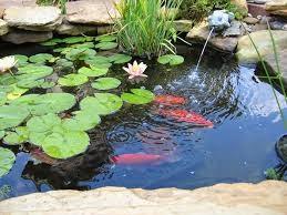 Tips Menanam Bunga Teratai di Kolam Koi Kamu!